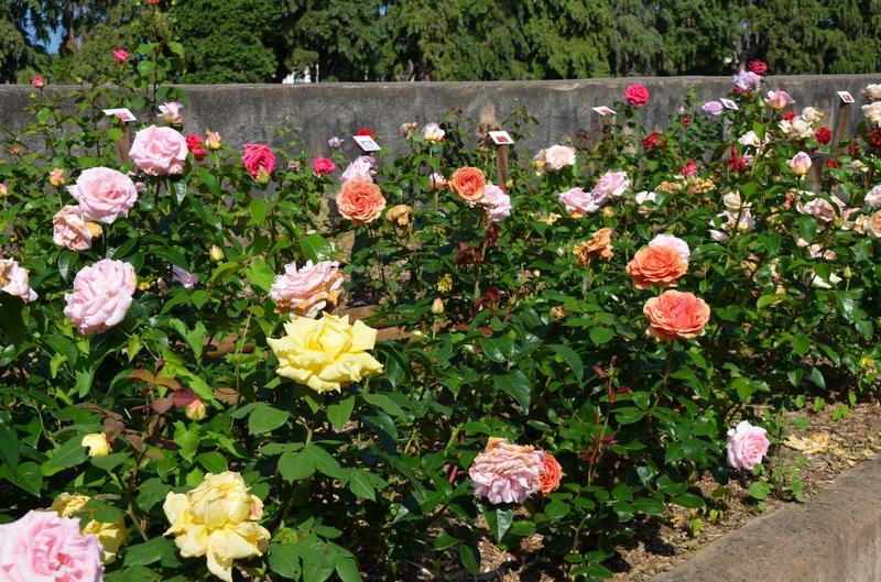 Fête des Roses Roseraie Rosheim